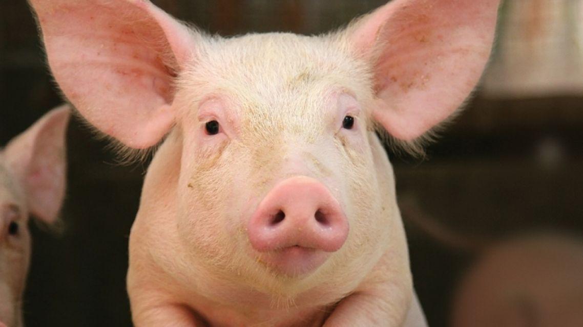 OZNAM o povinnosti registrácie všetkých chovov ošípaných